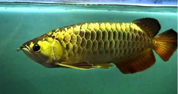 Resto di Riau Ini Tawarkan Masakan Khas nan Langka, Ikan Arwana!