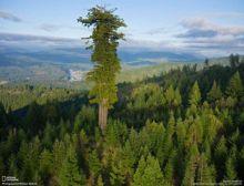 tingginya-115-meter-inilah-hyperion-pohon-tertinggi-di-dunia