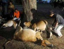 jembrana-penyakit-unik-yang-bikin-mati-mendadak-sapi-asli-indonesia