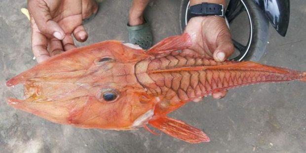 Nelayan Ambon Temukan Ikan Misterius Berjenggot dan Ekor Mirip Buaya