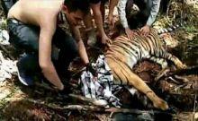 soal-harimau-sumatera-alami-luka-serius-karena-terjerat-di-konsesi-pt-rapp-ini-kata-wwf