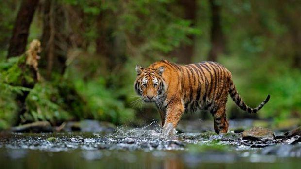 Harimau Sumatra Ditemukan Mati tak Jauh dari Konsesi PT Seraya Sumber Lestari Sungaimandau Siak