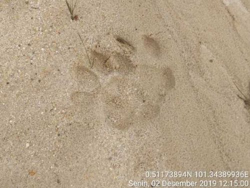Beredar Info Harimau Sumatera Masuk Permukiman di Pekanbaru, BBKSDA Riau Minta Warga Tidak Panik