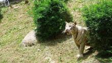 dua-harimau-di-kebun-binatang-singkawang-kalbar-lepas-pawang-tewas-diterkam