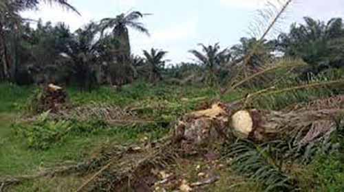 Proyek Aspirasi Anggota DPRD Inhu Bermasalah, Warga Tuntut Ganti Rugi karena Ratusan Pohon Sawit Ditumbang