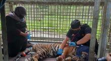 kaki-harimau-korban-jerat-di-lokasi-hti-di-pelalawan-terancam-diamputasi