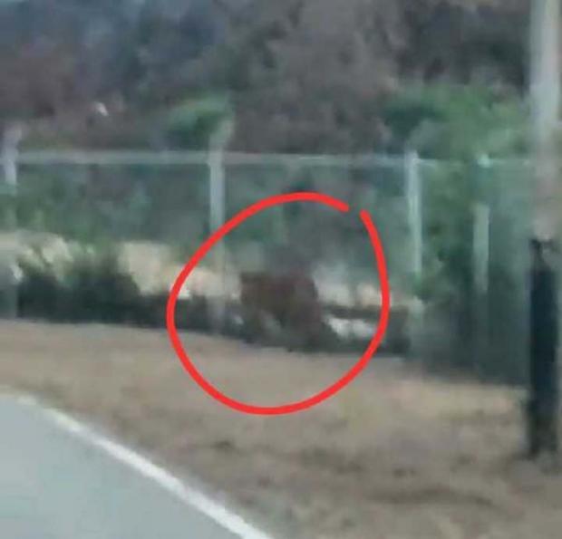 Harimau Muncul di Kawasan Sumur Minyak Minas Kabupaten Siak, Ini yang Dilakukan Chevron