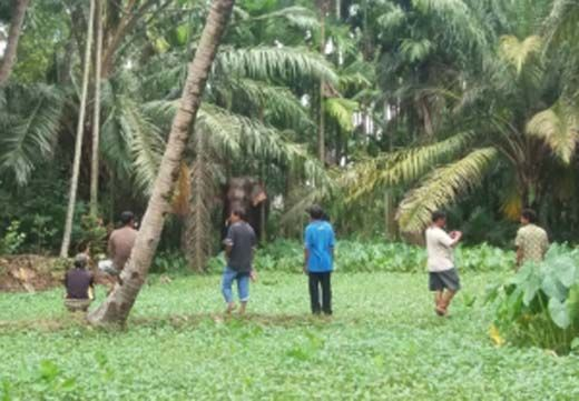 Gajah Liar Masuk Permukiman di Kelurahan Talangmandau Bengkalis, Eh Bukannya Kabur Mengungsi Warga Malah Mendekat