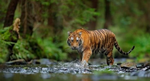 Seekor Harimau Masuk Perangkap yang Dipasang BKSDA di Teluklanus Siak
