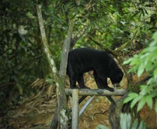 Beruang Masuk Kampung dan Serang Seorang Warga, Kini Penduduk Desa Rambah Rohul Ketakutan