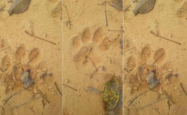 Ditemukan 3 Titik Diduga Jejak Harimau di Desa Kototuo Kampar