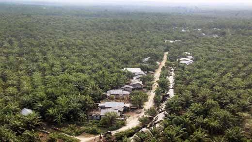 Kerahkan Alat Berat, Tim Gabungan Tumbangkan Ribuan Pohon Sawit Ilegal di Kawasan Cagar Biosfer Giam Siak Kecil Kabupaten Bengkalis