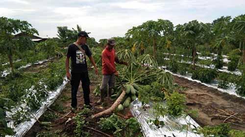 Jadi Jalur Lintas, Kebun Warga Desa Karyabaru Kampar Dirusak dan Dimakan Gajah Liar