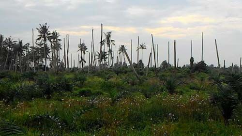 Komisi II DPRD Inhil Ajak Pemerintah Desa Bantu Selamatkan Kebun Kelapa