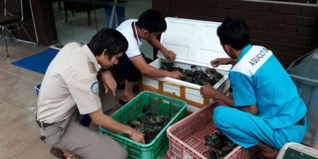 Petugas BKIPM Gagalkan Pengiriman 300 Kepiting Bertelur, Restoran di Riau Ada yang Jadi Pelanggan