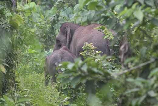 Rombongan Gajah Liar dari Jambi Masuk Permukiman Warga di Batang Cenaku Kabupaten Inhu, Polisi Siapkan Tim Penghalau