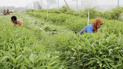 Terinspirasi Kesuksesan Suryono, Petani di Siak Mulai Babat Sawit Beralih ke Sayuran