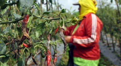 Curah Hujan Tinggi, Petani Kabupaten Siak Terancam Gagal Panen
