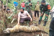 ulah-warga-yang-pasang-jerat-babi-seekor-harimau-sumatra-mati-di-desa-tanjungleban-bengkalis