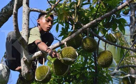 Jelang Pesta Durian di Gelanggang Olahraga Remaja Pekanbaru, Ratusan Pemuda Desa Pemandang Rohul Tunggui Pohon Durian di Hutan