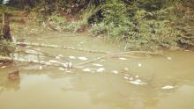 banyak-ikan-di-sungai-tapung-mati-mendadak-diduga-akibat-tercemar-limbah-pabrik