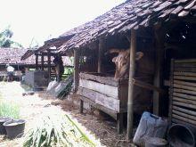 awasi-sekitar-garong-hewan-ternak-gentayangan-di-inhu-6-sapi-milik-warga-jalan-narasinga-rengat
