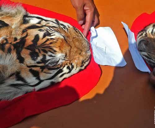 Pedagang Kulit Harimau Sumatera Ditangkap BKSDA Riau, Mobil Bernopol BM 1860 QB Ikut Diamankan