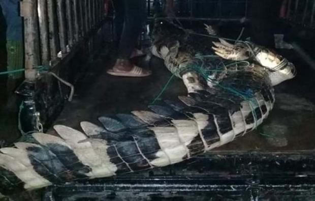 Ternyata Buaya Pemangsa Bocah 7 Tahun di Rokan Hulu Ditangkap Pakai Setrum Ikan
