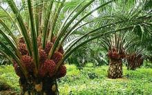 ptpv-v-tagih-setoran-cicilan-kredit-ke-petani-kopsa-m-padahal-hasil-penjualan-buah-belum-dicairkan