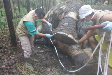 Pelaku Tak Tinggalkan Jejak, Kasus Kematian Gajah Jantan Berusia 40 Tahun di Areal PT Arara Abadi Sulit Diungkap