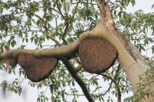 ambil-madu-lebah-di-atas-pohon-akasia-liar-turi-berurusan-dengan-polisi-karena-sebabkan-2-hektar