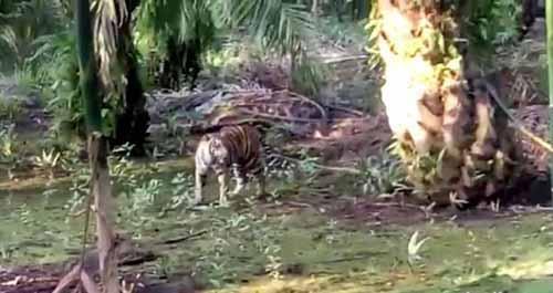 Ada Warga Mengaku Dikejar Harimau yang Berkeliaran di Desa Tanjungsimpang Inhil