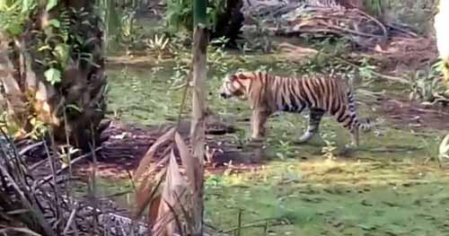 Harimau Sumatera Terlihat Berkeliaran di Permukiman Warga Desa Tanjungsimpang Inhil