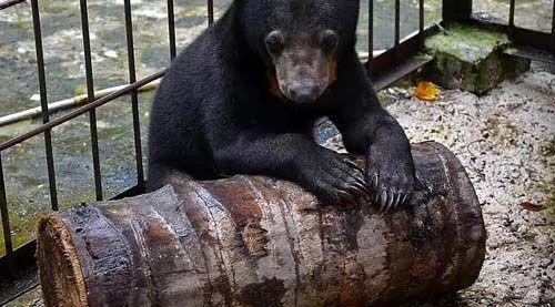 Beruang Madu Imut Ini Kembali ke Alam setelah Dipelihara 1,5 Tahun oleh Seorang Warga Riau