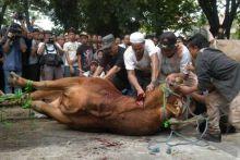 waduh-di-pekanbaru-ditemukan-ada-cacing-di-hati-sapi-kurban