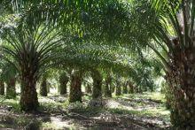 kebun-pt-bip-di-peranap-indragiri-hulu-disegel-karena-terindikasi-masuk-kawasan-hutan