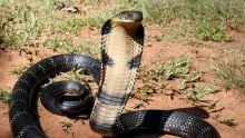 tragis-pawang-ular-tewas-dipatuk-king-kobra-saat-atraksi-di-depan-warga