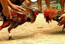 senjata-makan-tuan-di-arena-sabung-ayam-pria-ini-tewas-setelah-selangkangannya-tertusuk-taji-ayam