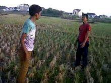 dua-pemuda-di-desa-sikakak-cerenti-kuansing-cekcok-lalu-bergumul-di-tengah-sawah-seorang-berhasil