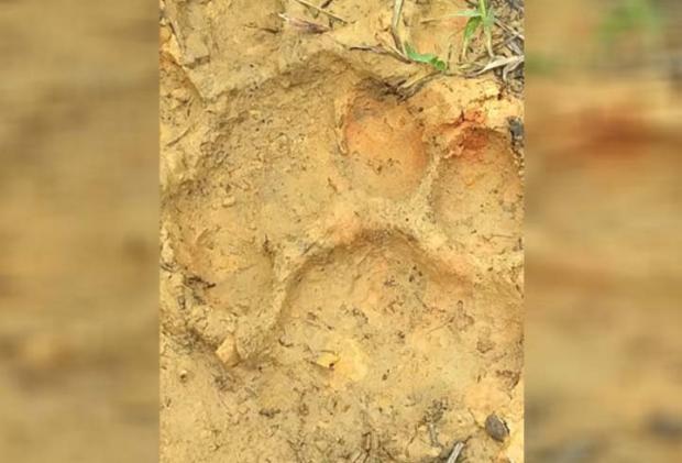 Jejak Harimau di Desa Sibiruang Kampar Bikin Khawatir Warga